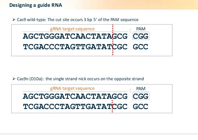 Designing a guide RNA   Cas9 wild-type: The cut site occurs 3 bp 5' of the PAM sequence  gRNA target sequence PAM  AGCTGG...