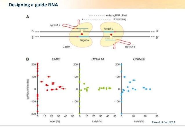 Designing a guide RNA  Ran et al Cell 2014