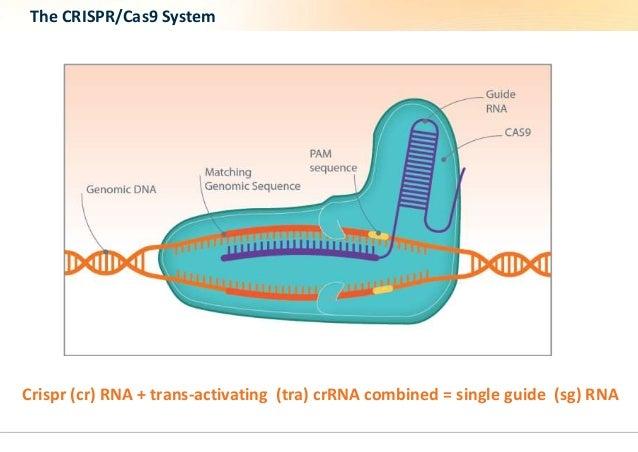 The CRISPR/Cas9 System  Crispr (cr) RNA + trans-activating (tra) crRNA combined = single guide (sg) RNA