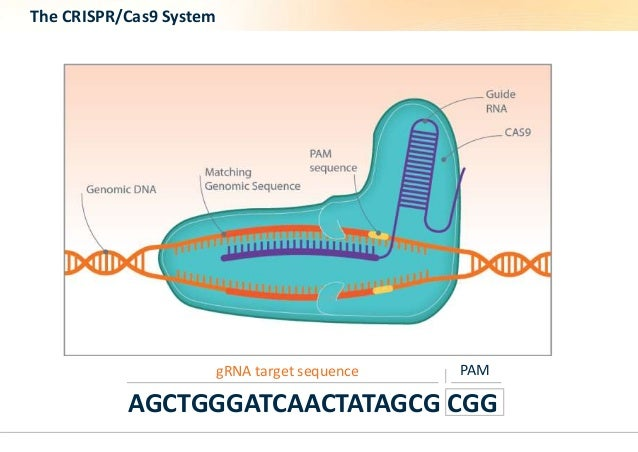 The CRISPR/Cas9 System  gRNA target sequence PAM  AGCTGGGATCAACTATAGCG CGG