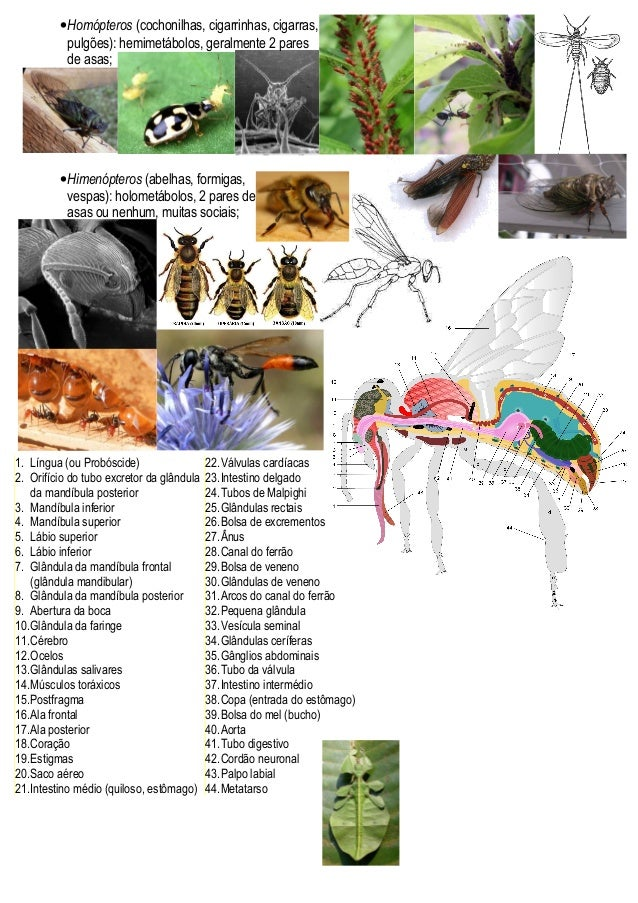 •Homópteros (cochonilhas, cigarrinhas, cigarras, pulgões): hemimetábolos, geralmente 2 pares de asas; •Himenópteros (abelh...