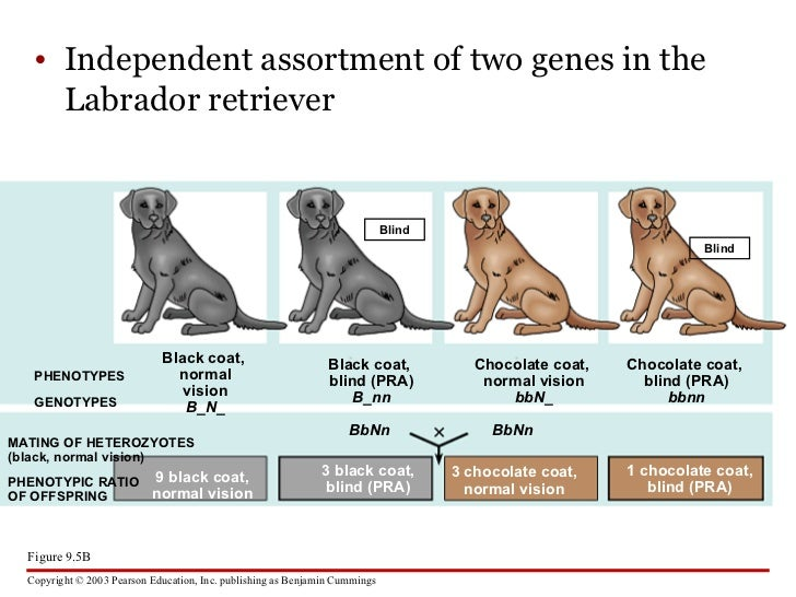 allele and normal vision The color blind gene is a recessive gene whilst the normal color vision gene is a dominant gene  and it is recessive x c = allele for normal color vision.