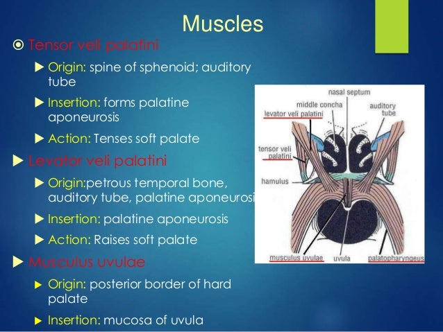 anatomy of oral cavity ,tongue and palate