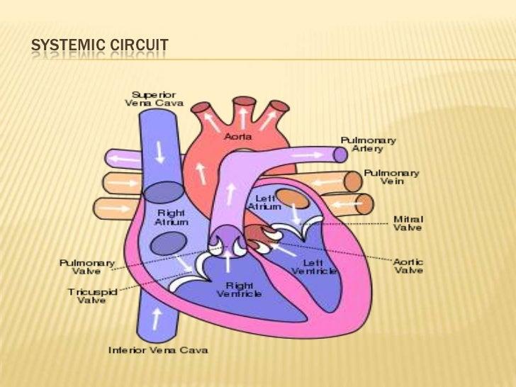 14 Pulmonary And Systemic Circulation