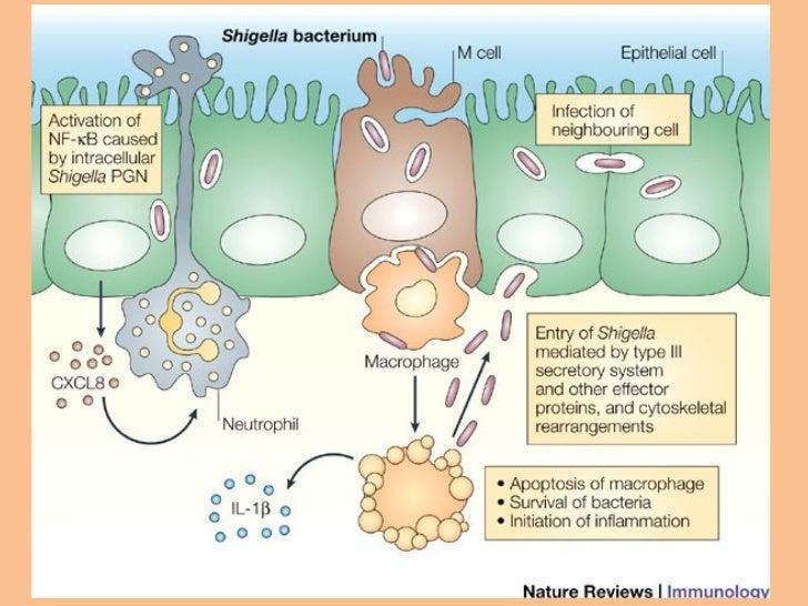 shigella flexneri Trevejo rt, et al: an untypeable shigella flexneri strain associated with an outbreak in california j clin microbiol 1999 37: 2352-2353.