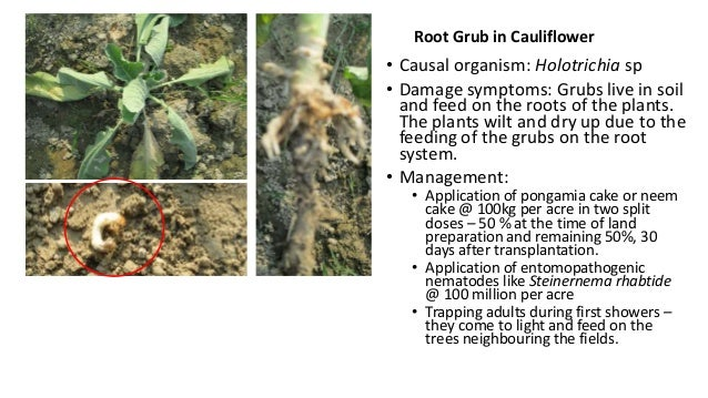 Root Grub in Cauliflower  • Causal organism: Holotrichia sp • Damage symptoms: Grubs live in soil and feed on the roots of...