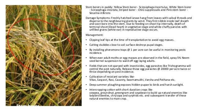 Stem borers in paddy: Yellow Stem borer - Scirpophaga Incertulus, White Stem borer - Scirpophaga innotata, Striped borer -...