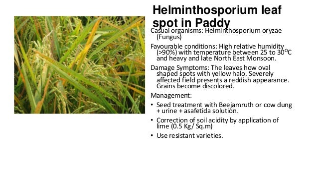 Helminthosporium leaf spot in Paddy  Casual organisms: Helminthosporium oryzae (Fungus) Favourable conditions: High relati...