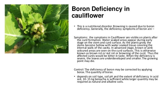 Boron Deficiency in cauliflower • This is a nutritional disorder. Browning is caused due to boron deficiency. Generally, t...