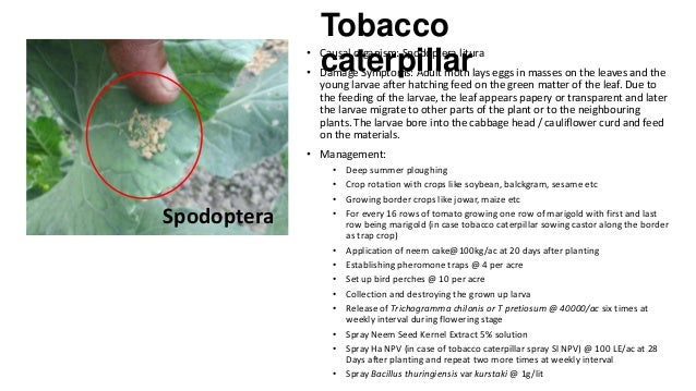 Tobacco caterpillar  • Causal organism: Spodoptera litura  • Damage Symptoms: Adult moth lays eggs in masses on the leaves...