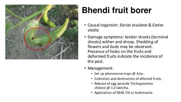 Bhendi fruit borer • Causal organsim: Earias insulana & Earias vitella • Damage symptoms: tender shoots (terminal shoots) ...