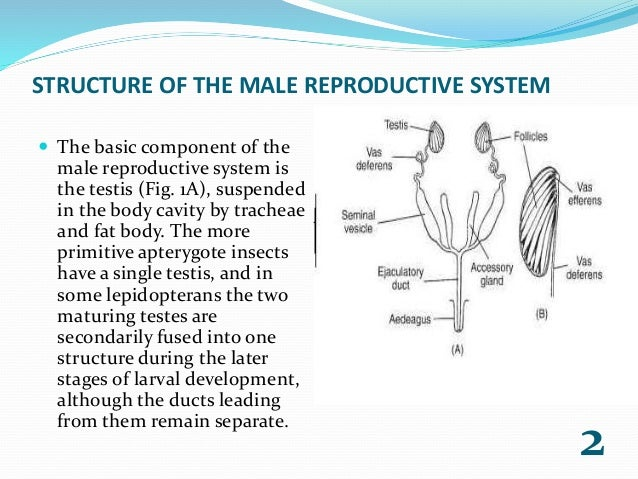 Reproductive system | ent 425 – general entomology.