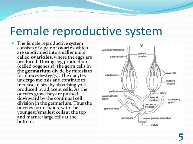 Reproductive system of eartworms and insects.
