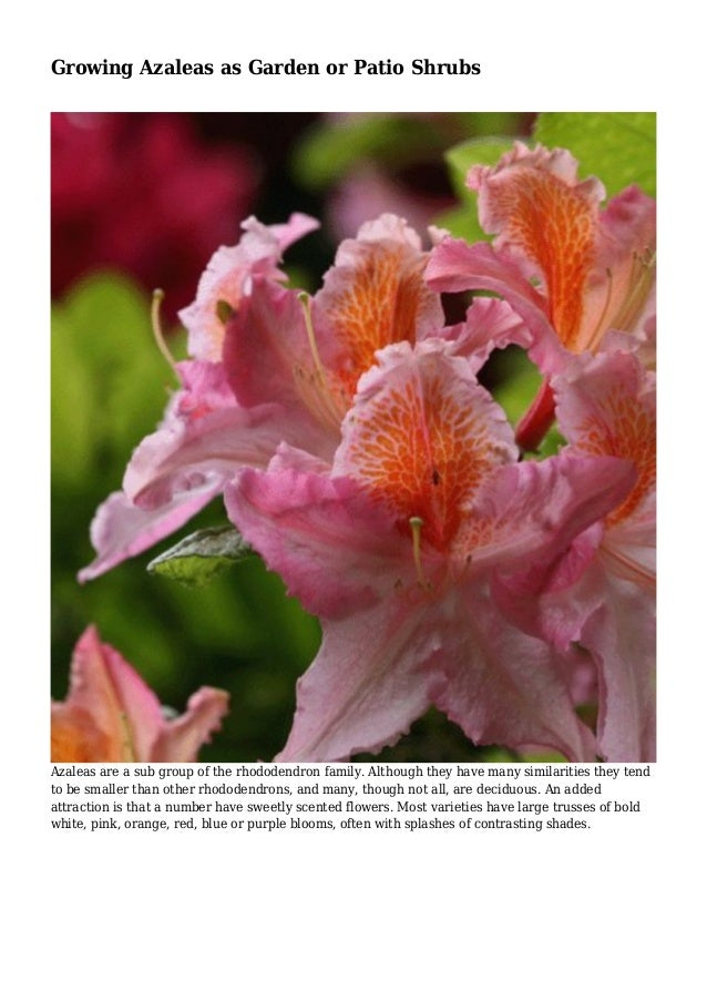 Growing Azaleas As Garden Or Patio Shrubs