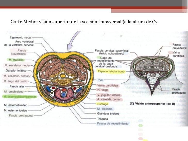 14956513 musculos-del-cuello-anatomia