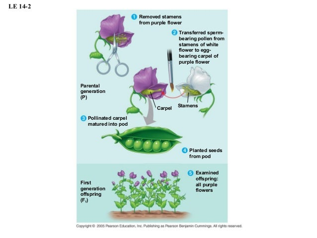 demonstrating genetic principles using garden pea plants Mendel's seminal work was accomplished using the garden pea, pisum sativum, to study inheritance this species naturally self-fertilizes , meaning that pollen encounters ova within the same flower.