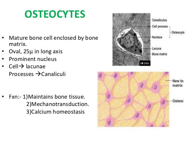 Mesmerizing Small Spaces In Bone Tissue Where Osteocytes Live Ideas ...