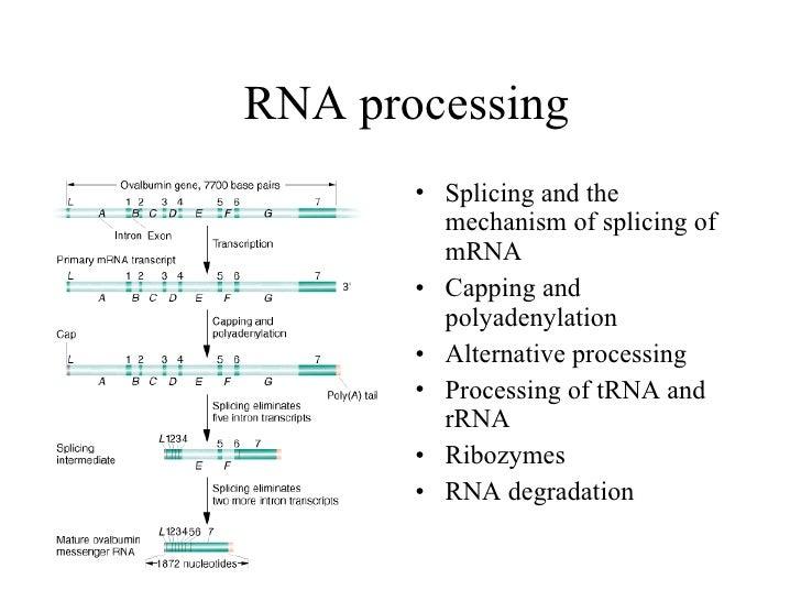 RNA processing <ul><li>Splicing and the mechanism of splicing of mRNA </li></ul><ul><li>Capping and polyadenylation </li><...