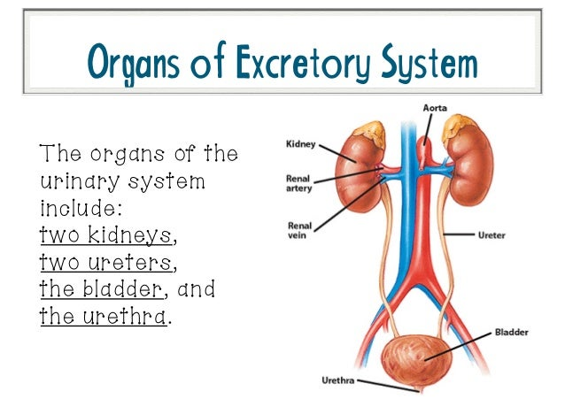 What System Works With The Excretory System Ibovnathandedecker