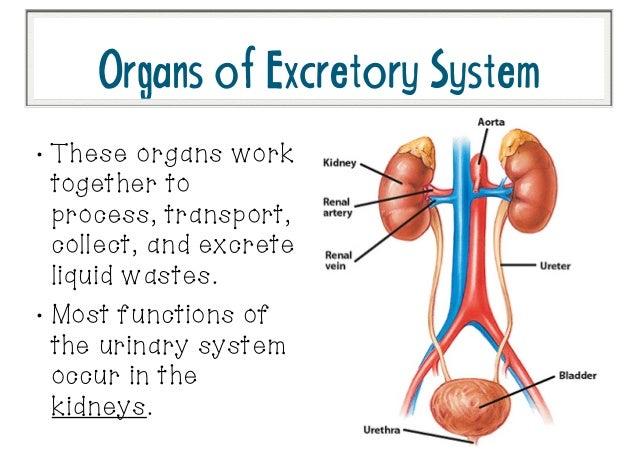 excretory system, Cephalic Vein