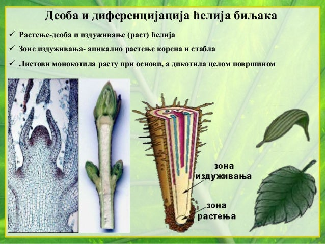 Деоба и диференцијација ћелија биљака  Растење-деоба и издуживање (раст) ћелија  Зоне издуживања- апикално растење корен...