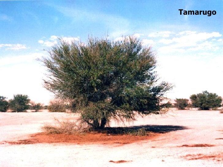 Tamarugo