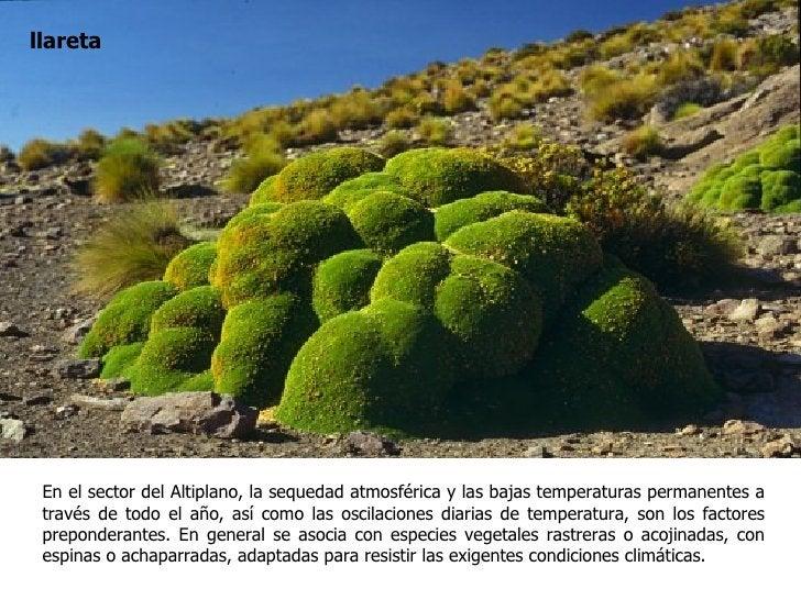 llareta En el sector del Altiplano, la sequedad atmosférica y las bajas temperaturas permanentes a través de todo el año, ...