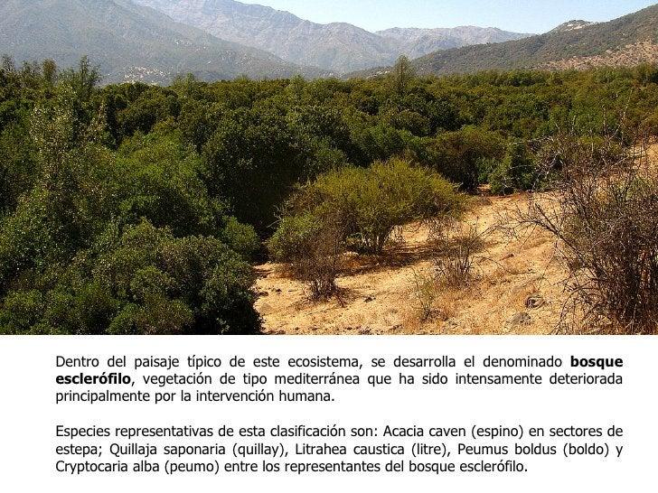 Dentro del paisaje típico de este ecosistema, se desarrolla el denominado bosqueesclerófilo, vegetación de tipo mediterrán...