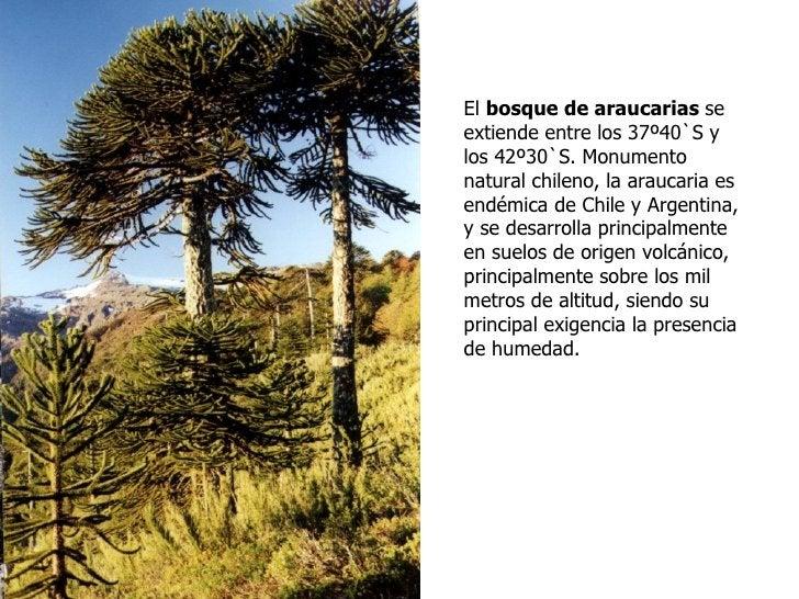 El bosque de araucarias seextiende entre los 37º40`S ylos 42º30`S. Monumentonatural chileno, la araucaria esendémica de Ch...