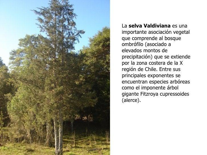 La selva Valdiviana es unaimportante asociación vegetalque comprende al bosqueombrófilo (asociado aelevados montos depreci...