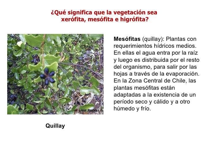 ¿Qué significa que la vegetación sea    xerófita, mesófita e higrófita?                      Mesófitas (quillay): Plantas ...