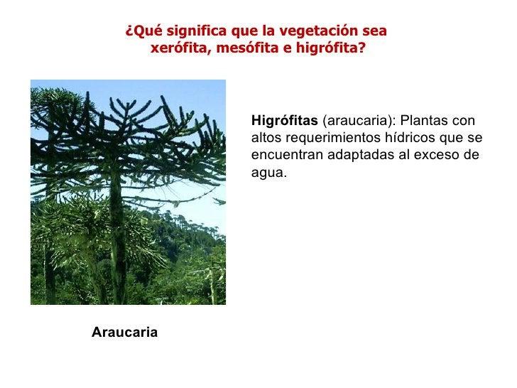 ¿Qué significa que la vegetación sea       xerófita, mesófita e higrófita?                     Higrófitas (araucaria): Pla...