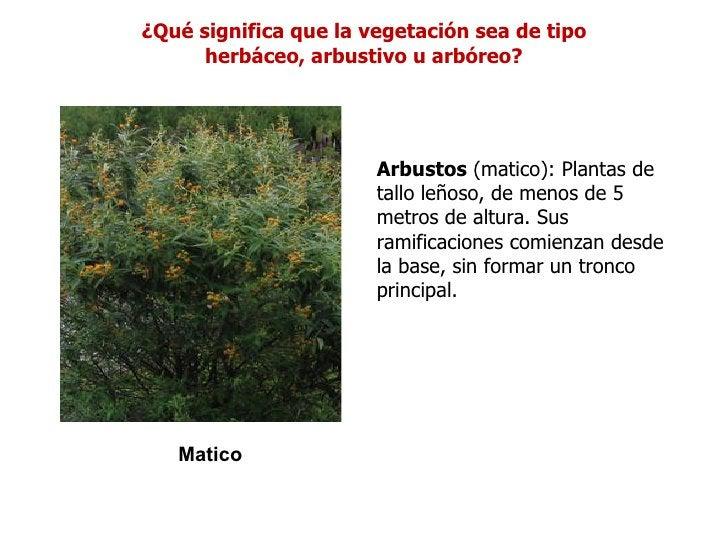 ¿Qué significa que la vegetación sea de tipo      herbáceo, arbustivo u arbóreo?                       Arbustos (matico): ...