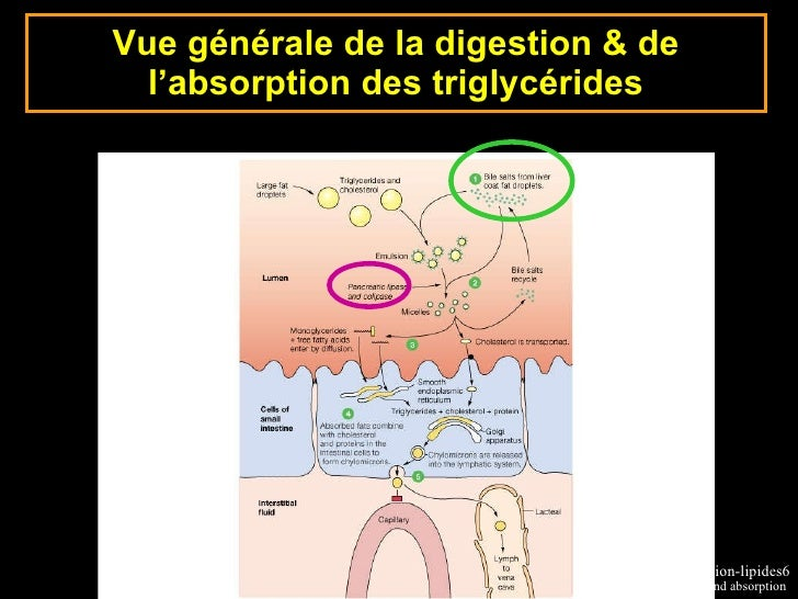triglycerides phospholipids steroids and waxes