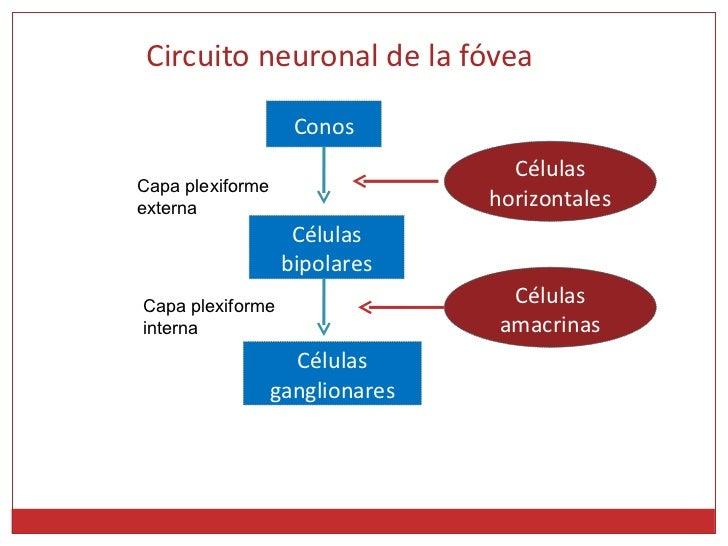Circuito Neuronal : Función receptora y nerviosa de la retina