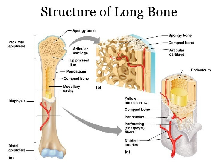 Anatomy bone structure