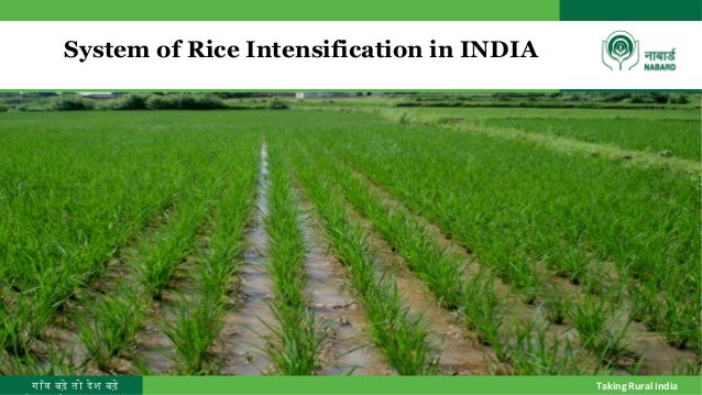 गाँव बढ़े तो देश बढ़े Taking Rural India System of Rice Intensification in INDIA