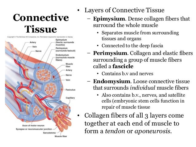 layers of connective tissue Connective tissue: connective tissue, group of tissues in the body that maintain the form of the body and its organs and provide cohesion and internal support the.