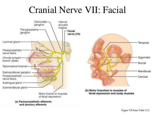 Facial Cranial Nerve 64