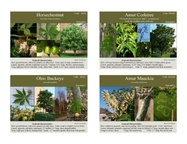 Minnesota Tree Identification Cards 3.5x5 inch