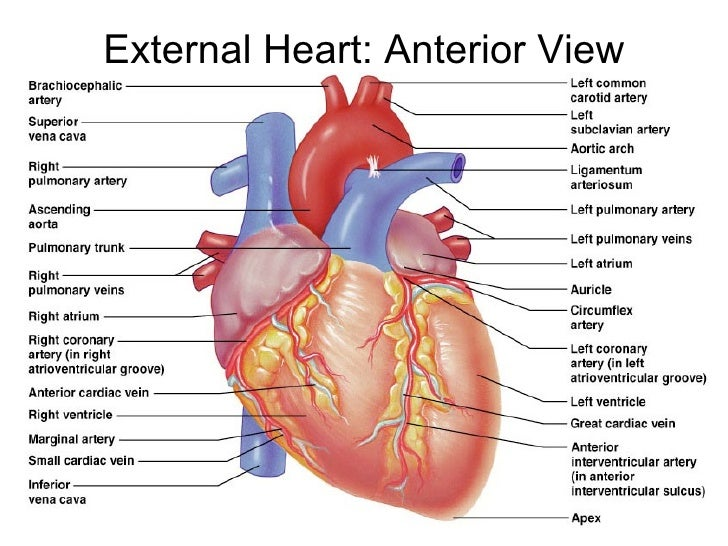 Anterior heart labeling diagram trusted wiring diagram 150 heart rh slideshare net coronary heart diagram labeling test labeled heart diagram blood flow ccuart Image collections