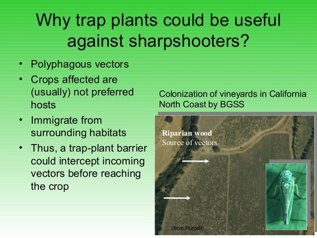 Why trap plants could be useful against sharpshooters? • Polyphagous vectors • Crops affected are (usually) not preferred ...