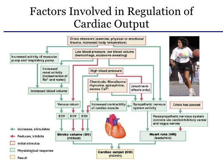 the cardiovascular system factors that affect Facts about the cardiovascular system • in 1616, william harvey, an english physician, is believed to be the first person to describe the heart/blood circulatory system.