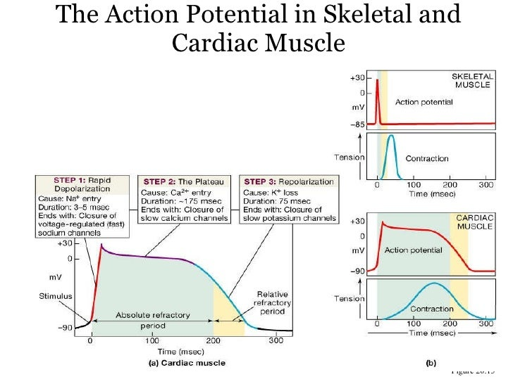 Heart 9 the action potential in skeletal and cardiac muscle ccuart Image collections