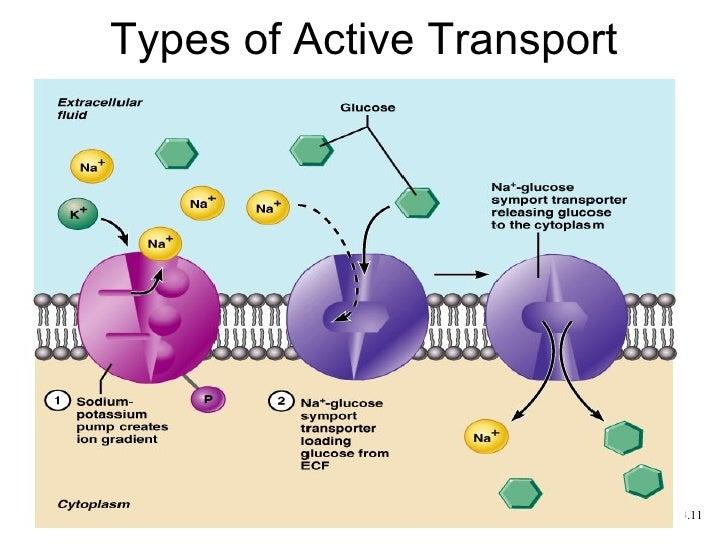 Transport Across the Plasma Membrane Flashcards | Easy ...