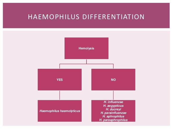 H haemophilus influenza