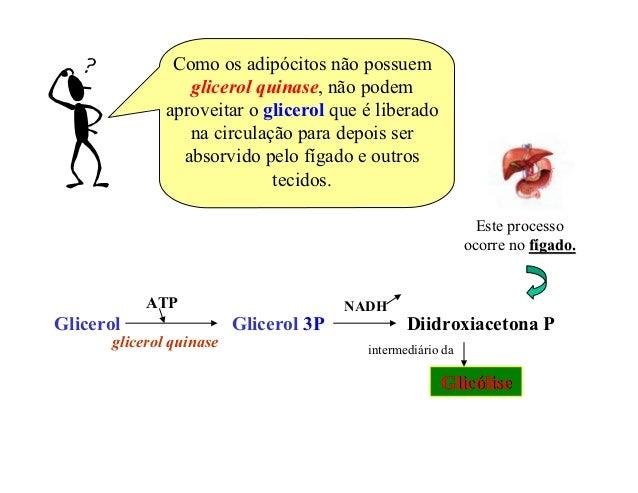 Como os adipócitos não possuem                 glicerol quinase, não podem              aproveitar o glicerol que é libera...