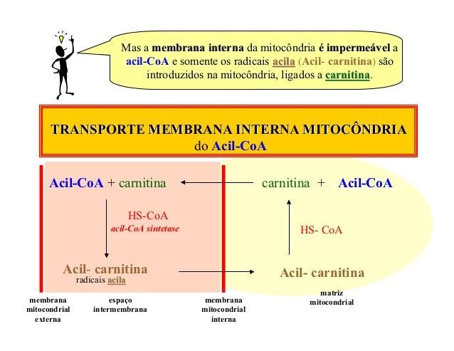 Mas a membrana interna da mitocôndria é impermeável a                           acil-CoA e somente os radicais acila (Acil...