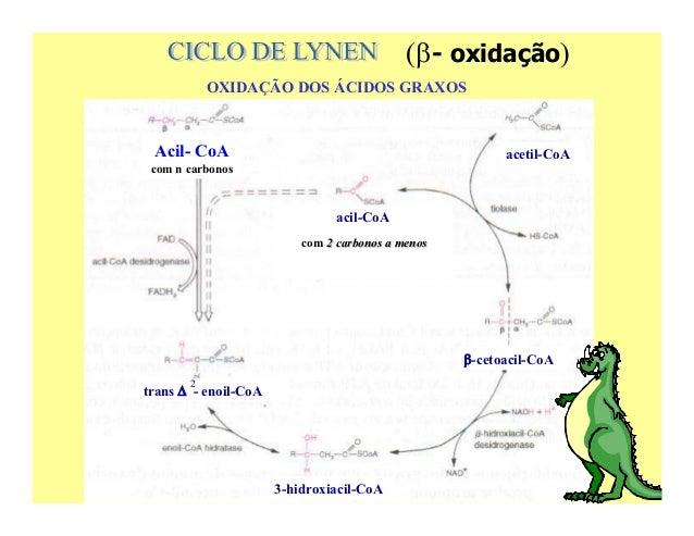 ( - oxidação)            OXIDAÇÃO DOS ÁCIDOS GRAXOS Acil- CoA                                              acetil-CoA com ...