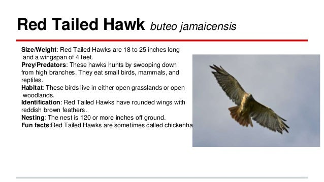 Top 15 Red Tailed Hawk Facts  Factsnet
